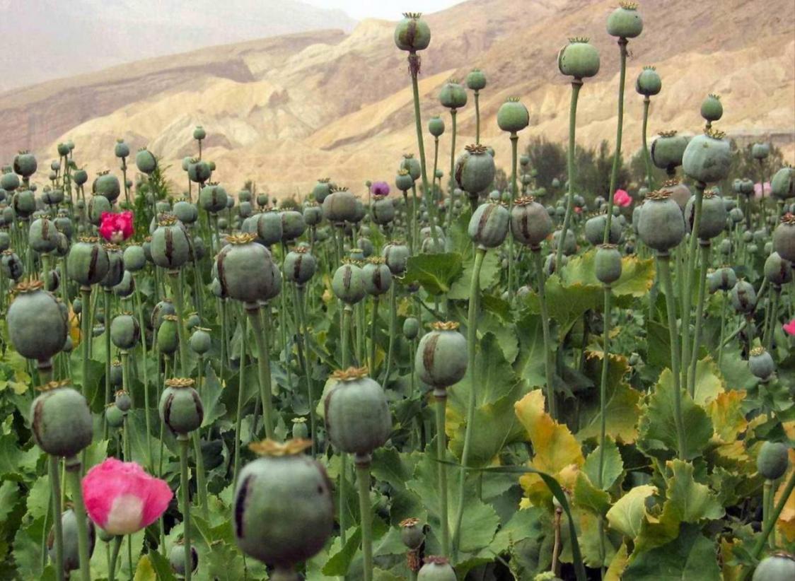 Afghan Poppy Boom A Bane For Iran Financial Tribune