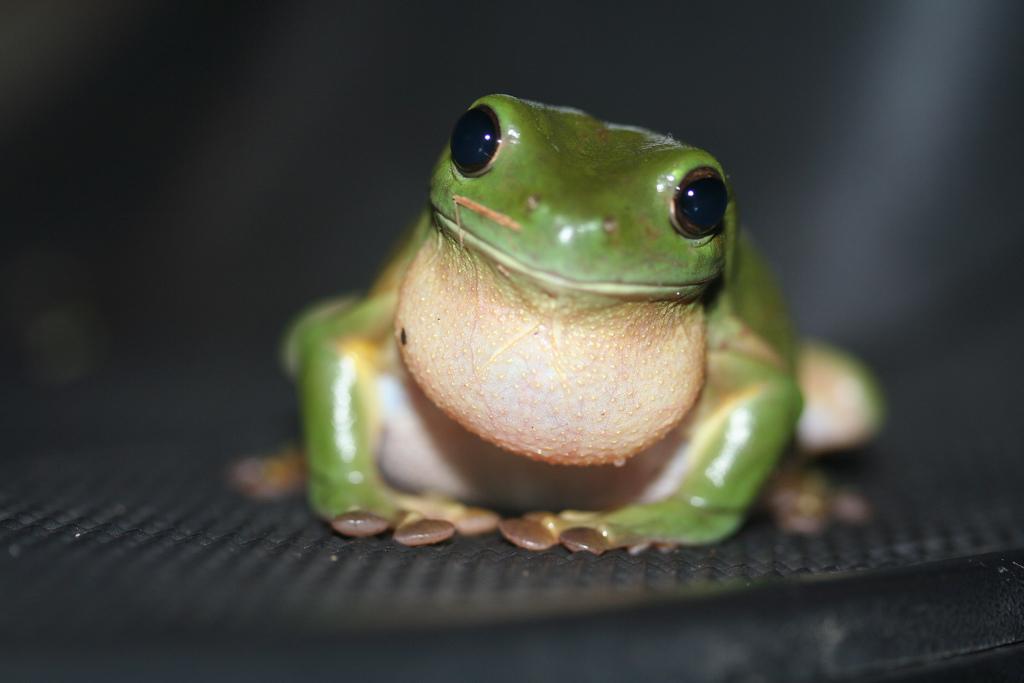 Cuban Treefrog - Everglades CISMA
