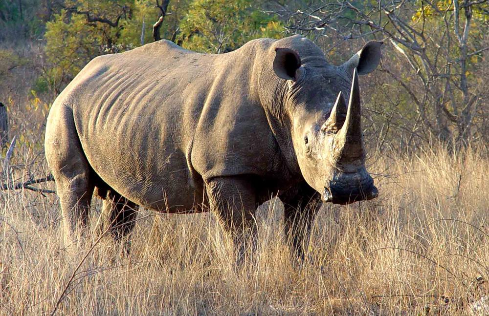 wildlife groups mull rhino haven in australia