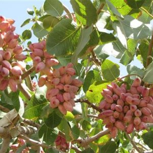 The expected decline is due to extreme cold and hot temperatures experienced by pistachio orchards this year.
