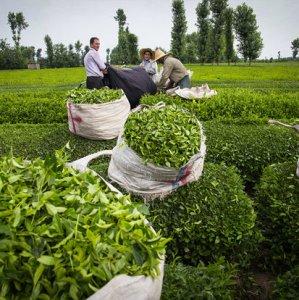 Gov't Buys 4% More Fresh Tea Leaves
