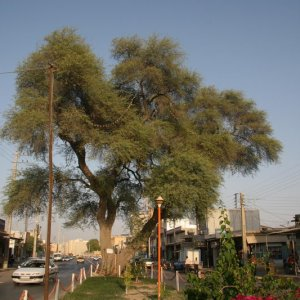 Old Tree Officially Recognized as Part of National Heritage