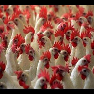 4 Die of Bird Flu in Libya