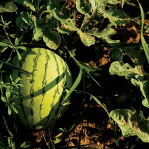 """Watermelon Exports """"Unfeasible"""""""