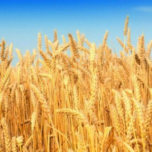 Wheat Self-Sufficiency on Target