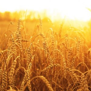 Plans to Purchase 7.7m Tons of Wheat