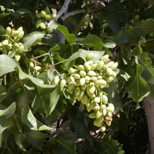 Unripe Pistachio: Delicacy Grown in the Heart of Iran