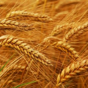 Wheat Production Meets 85% of Domestic Need
