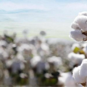 Gov't Plans to Revive Cotton Farming