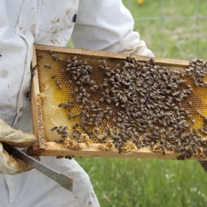 Meager Honey Production