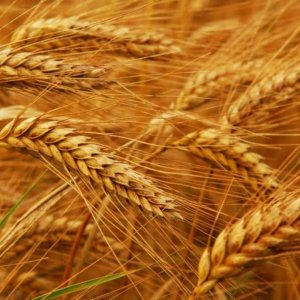 Wheat Import Banned