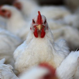 Self-Sufficiency in Chicken, Dairy Products
