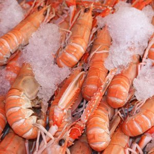 Russia to Import Iranian Shrimp