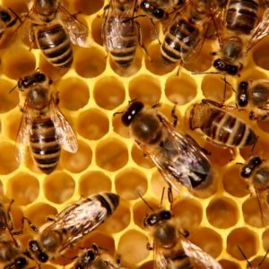 Honey Harvest Hurt  by Inaccurate Data