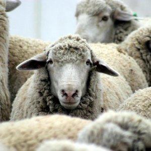 Livestock Export to Oman