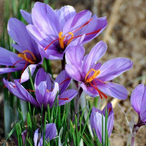 Saffron Exports Up 22.5%