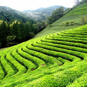 33% Rise in Tea Production