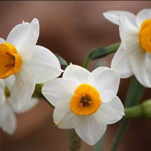 Daffodils in the Desert