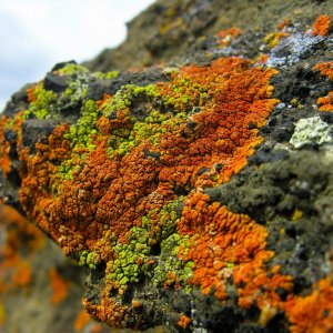 Lichens, Best Judge of Air Pollution