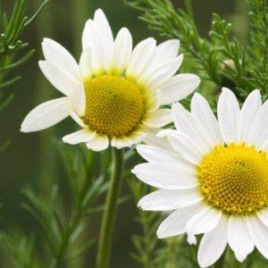 First Medicinal Herbs Garden in Fars