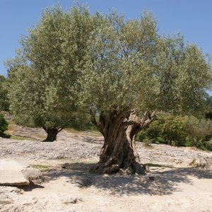 Olive Can Curb Desertification