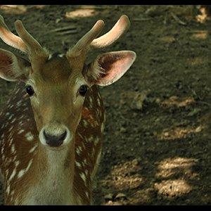 Shifting Fallow Deer to Karkhe 'Wrong Move'