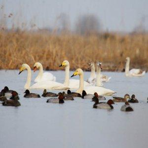 Sorkhrud Wetland Hosts Swans