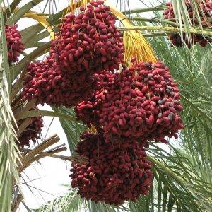 Khuzestan Dates