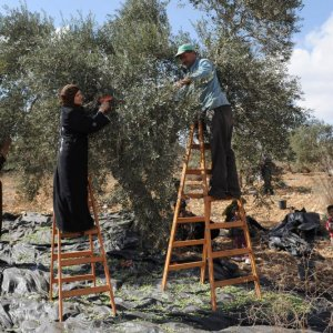 Israeli Wall Devastating  west Bank Olive Harvest