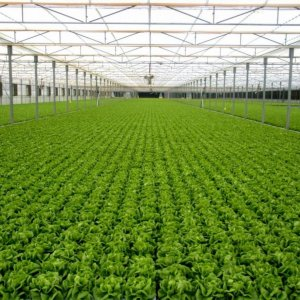 Startup Gives Fresh Impetus  to Greenhouse Farming
