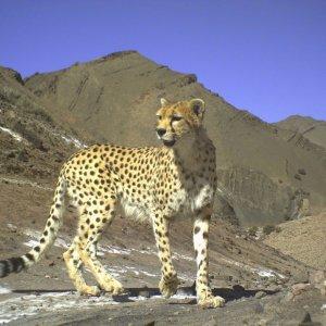 Asiatic Cheetah Wins BBC Photo Contest