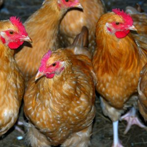 Iran Free  of Avian Flu