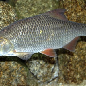 Restoration of Caspian Fish Reserves
