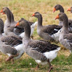 French Bird Flu Outbreak Spreads