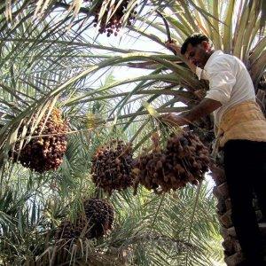 Kerman Palm Groves Hit by Cicada Pest