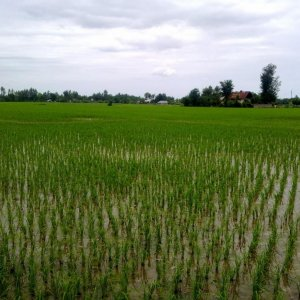 Northern Paddy Fields to Be Modernized