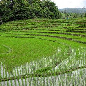 Mechanized Rice Production