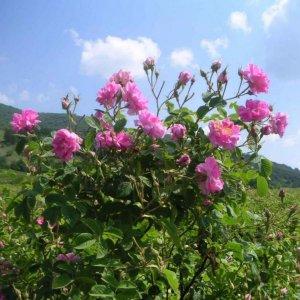 Rose Harvest in Kashan