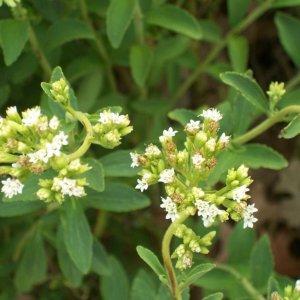 Stevia Grown In Ardebil