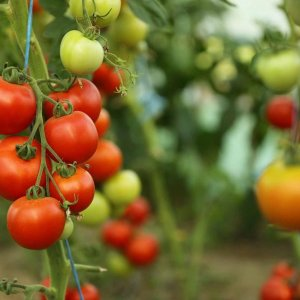 Cold Damages Tomato Crop