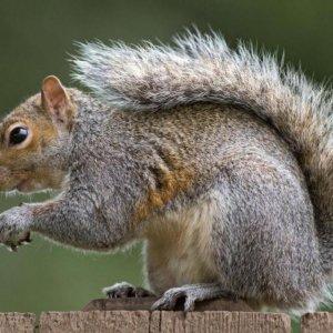 New Squirrel Virus Kills 3 Germans