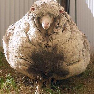 Australian Sheep Sets Woolly Record
