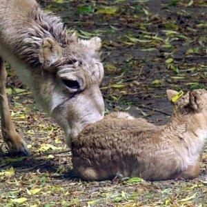Scientists Baffled as Antelopes Die