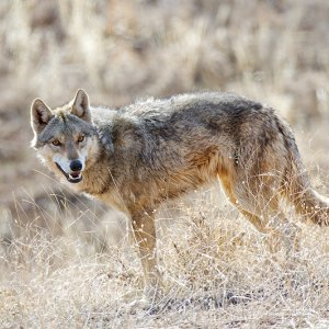 Wolves Pushing Into Gilan Towns