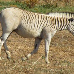 Zebra's Extinct Cousin Coming Back