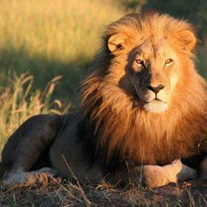 Kenyan Lions on the Loose