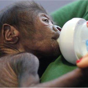Baby Gorilla Born Via C-Section