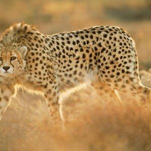 Asiatic Cheetah Beaten to Death