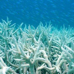 DOE to Probe Persian Gulf Coral Bleaching
