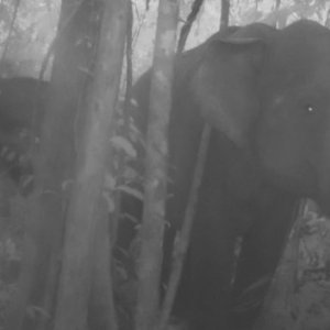 Rare Cambodian Elephant Footage Raises Hopes